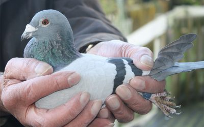 How To Hold A Racing Pigeon