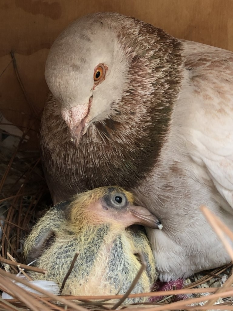 Pigeon Fostering