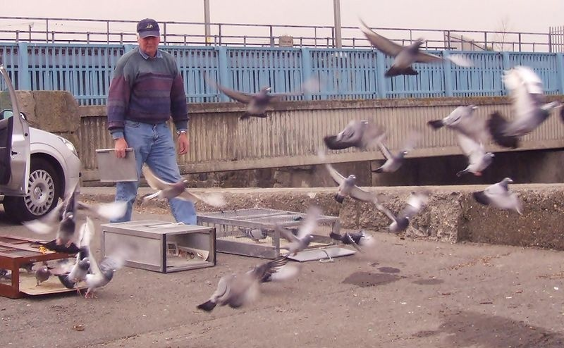 Training Racing Pigeons